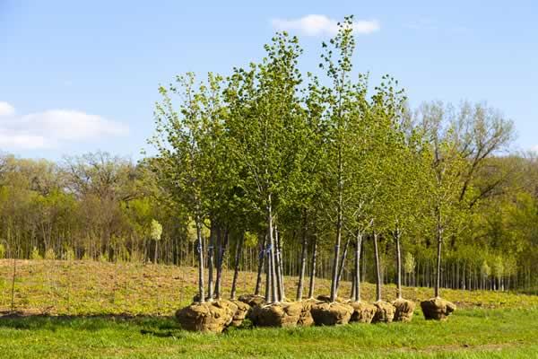 Landscape Design - Trees from Advance Lawn Service Company - Hartford WI